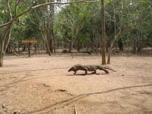 Komodo (bukan kadal yang disengat tawon)