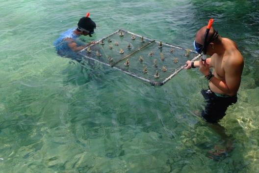 Coral Planting Pulau Macan