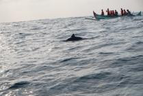 Kiluan Dolphin