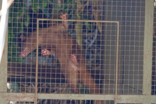 Luwak Bali Pulina