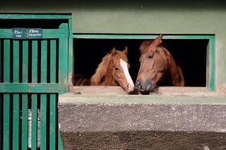 Kuda Istana Cipanas